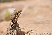 Stellagama (Stellagama stellio) AKA stellion, hardim, hardun, star lizard, painted dragon, starred agama, sling-tailed agama and roughtail rock agama. Basking in the sun on a rock, Negev Desert, Israel