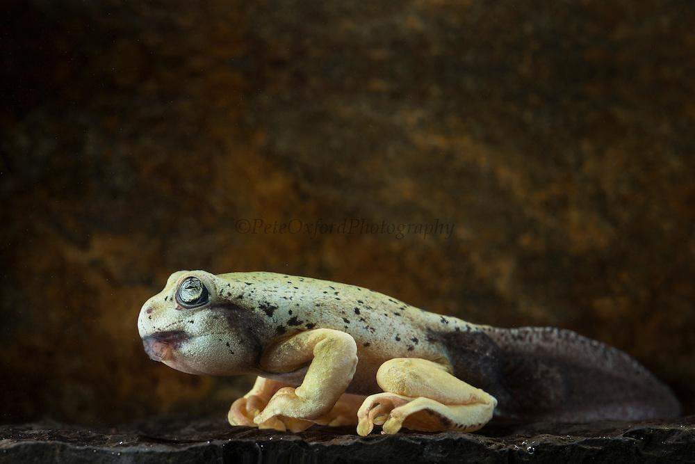 Tiger Tree Froglet (Hyloscirtus sp cf tigrinus)<br /> CAPTIVE<br /> ECUADOR. South America<br /> RANGE: Ecuador<br /> Critically Endangered<br /> New undescribed species