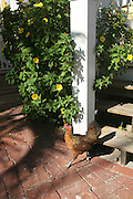 A gypsy rooster struts in Key West, Florida. Key West has hundreds of gypsy chickens which roam the island.