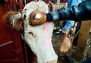 PRICE CHAMBERS / NEWS&amp;GUIDE<br /> Female cows who are not pregnant get a mark on their head to keep them identifiable.