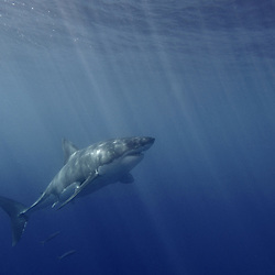 Great White Shark at Guadalupe Island, Mexico.