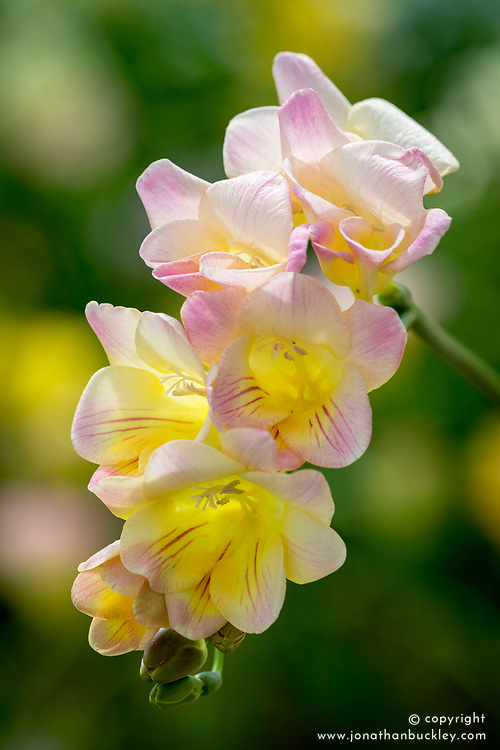 Freesia 'Soft PInk'