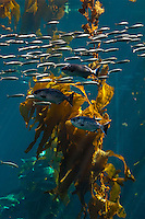 Kelp Forest, Monterey Bay Aquarium, Monterey County, California USA