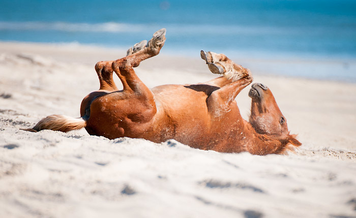 A wild horse on the beaches of the Outer Banks north of Corolla rolls in the sand with the Atlantic Ocean in the background