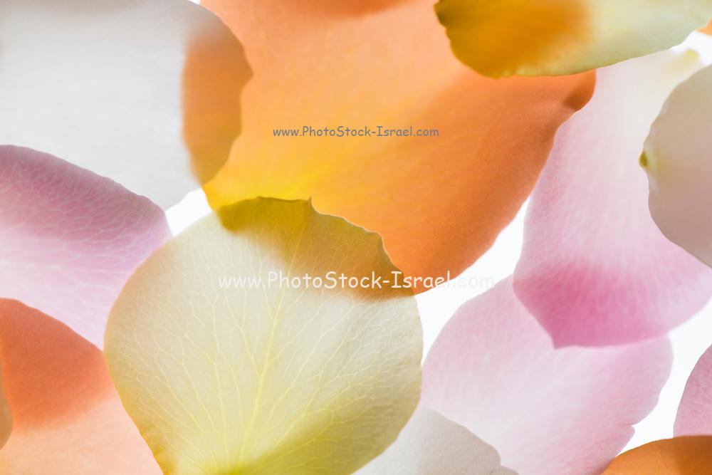 Back lit Flower petals photographed on a light box