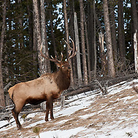 trophy bull elk feeding on grass with fir forest background
