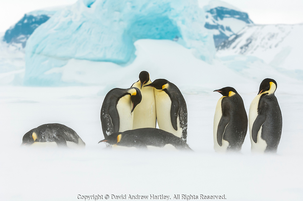 Emperor Penguins (Aptenodytes forsteri) in their windy environment, Snow Hill Island, Weddell Sea, Antarctica.