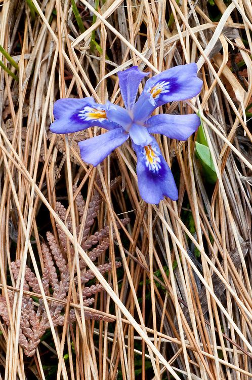 Dwarf Lake Iris, Iris lacustris, Presque Isle County, Michigan