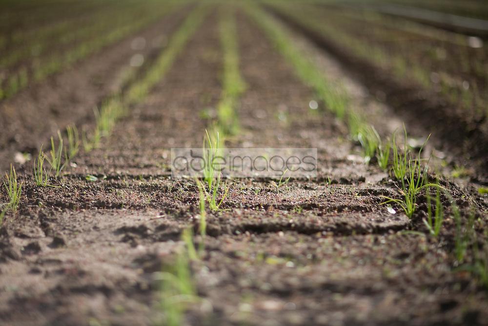 Rows of plants seedlings