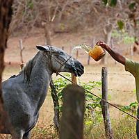 Un llanero refresca a su caballo después de su recorrido matinal. El Hato Piñero, ubicado en los llanos centrales de Venezuela, Estado Cojedes; constituye un desarrollo que se caracteriza por el turismo ecológico, donde los visitantes pueden disfrutar de la diversidad de la fauna, las actividades ganaderas y agroindustriales. El Hato Piñero es un retiro para los amantes de la naturaleza, observadores de aves o los viajeros que simplemente buscan paz y tranquilidad. Estado Cojedes. Venezuela. A llanero refreshes his horse after his morning tour. El Hato Piñero, located in the central plains of Venezuela, Cojedes State; It is a development characterized by ecological tourism, where visitors can enjoy the diversity of fauna, livestock and agroindustrial activities. El Hato Piñero is a retreat for nature lovers, birdwatchers or travelers who simply seek peace and tranquility. Cojedes State. Venezuela.