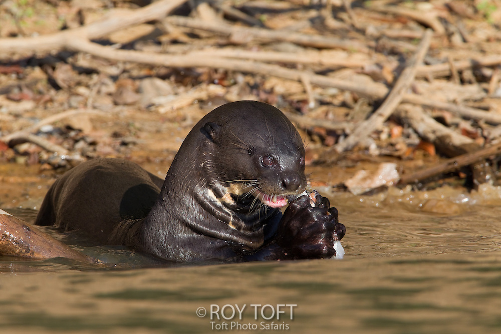 Giant otter (Pteronura brasiliensis) eating fish, Pantanal, Mato Grosso, Brazil