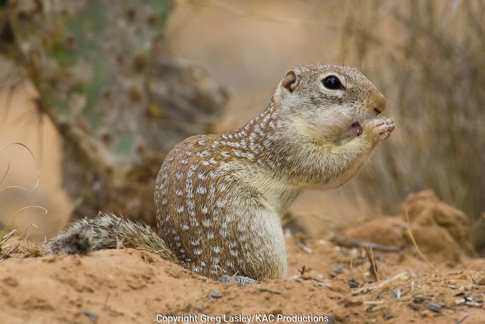 Rio Grande Ground Squirrel<br /> Ictidomys parvidens<br /> formerly known as:<br /> Mexican Ground Squirrel<br /> Spermophilus mexicanus<br /> Las Colmenas Ranch<br /> near McCook,<br /> Hidalgo Co., Texas<br /> 26 April 2006