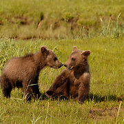 Alaskan Brown Bear (Ursus middendorffi) Two young cubs playing. Cute. Katmai National Park. Alaska. Spring...Alaskan Brown Bear (Ursus middendorffi) Two young cubs playing. Cute. Katmai National Park. Alaska. Spring.