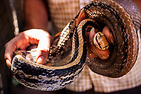 A restaurant owner shows off a live snake at Le Mat snake village in Hanoi, Vietnam. Le Mat village is known for its snake restaurants.