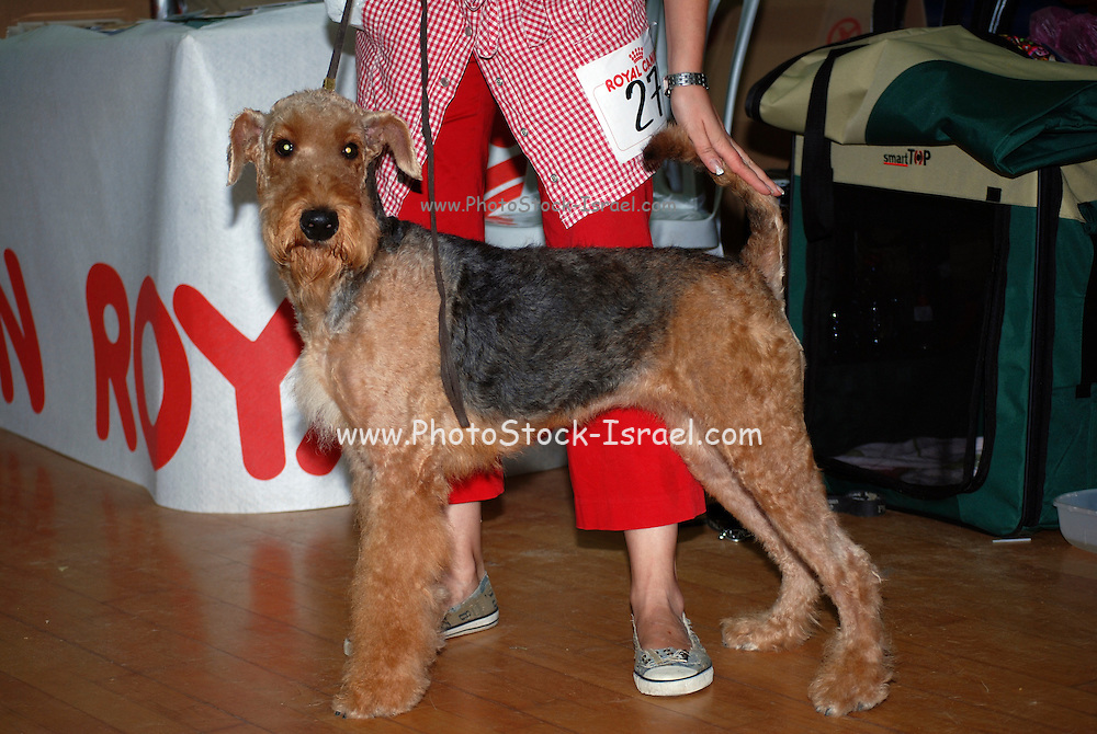 Airedale Terrier at a dog show. Property Release available