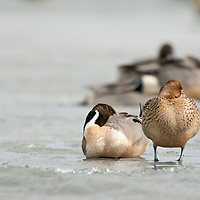 two pintail ducks, hen, drake on ice sleeping