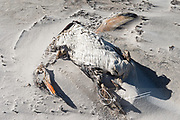 The remains of a dead Gentoo penguin covered with sand on a beach on Saunders Island in the Falklands.