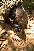 A common porcupine (Hystrix brachyura) on the move along the forest floor. Endau-Rompin National Park, Malaysia.