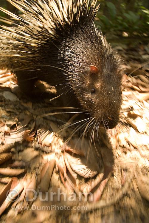 A common porcupine (Hystrix brachyura) on the move along the forest floor. Endau-Rompin National Park, Malaysia.