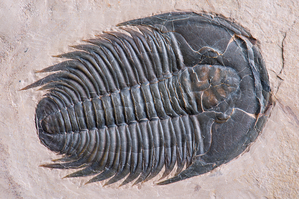 This is a phenomenal and large example of the common Modocia typicalis (sagittal length: 59mm) from the Middle Cambrian of Utah.