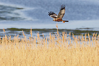 Marsh Harrier (Circus Aeruginosus), Texel, the Netherlands