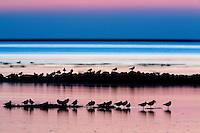 20.04.2009<br /> Birds in sunset<br /> Hallig Hooge, Germany