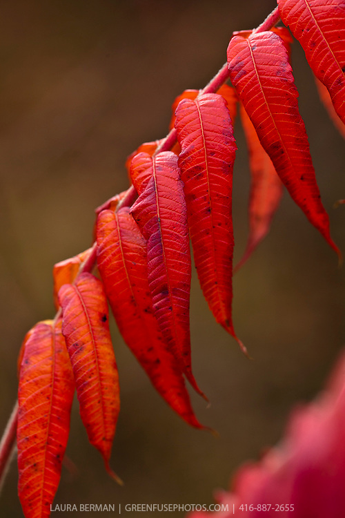 Staghorn sumac leaves in autumn (Rhus typhina)