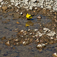 Goldfinch bathing Streamside in Ontario's protected Rouge Park (Spinus tristis)