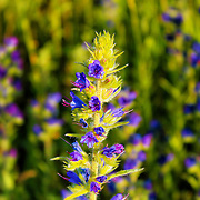 """""""Unique"""" 3<br /> <br /> Gorgeous bright and beautiful purple wildflowers growing strong and tall in the Blue Ridge Mountains of Virginia! One stands out in the crowd!!<br /> <br /> Flowers and floral images by Rachel Cohen"""