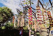 Plumeria leis hanging from tree, Hana, Maui, Hawaii