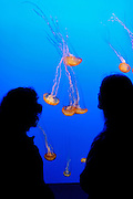 Visitors viewing Sea nettles (Chrysaora fuscescens) at the Monterey Bay Aquarium, Monterey, California.