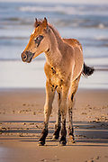 Wild stallion colt on the beach on the Outer Banks at Corolla NC.