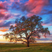 Oak silhouette and sunset light on cumulus clouds at Table Mountain, Butte County, California.