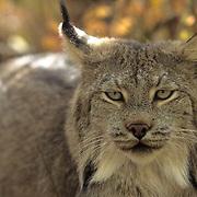 Canada Lynx, (Lynx canadensis) Portrait of adult. Rocky mountains. Montana. Captive Animal.