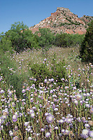 Thistle flowers at Palo Duro Canyon State Park, Canyon, Texas.