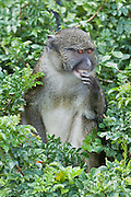 Allen's Swamp Monkey is an Old World monkey.