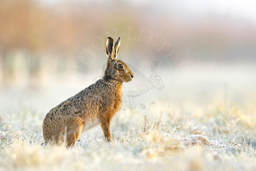 European Hare (Lepus europaeus) adult in frost covered grass margin, South Norfolk, UK. April.