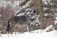 Wild radio-collared wolf in Banff National Park, Alberta, Canada