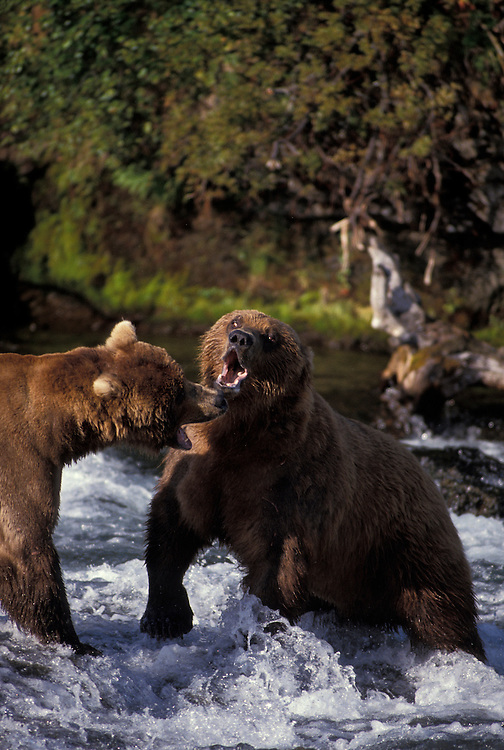 USA, Alaska, Katmai National Park, Grizzly Bears (Ursus arctos) fight over fishing territory in Brooks River