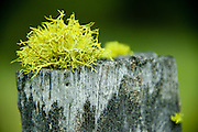 Close-up of wolf lichen on a tree stump