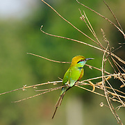 Little Green Bee Eater, Merops orientalis.