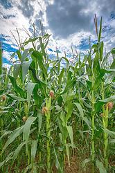 Plantação de milho na área rural de Perdizes, Minas Gerais. FOTO: Jefferson Bernardes/Agência Preview