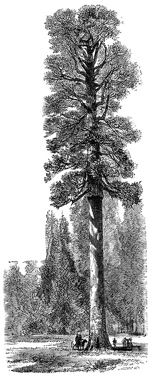 The Keystone State, Californian Redwood 325 feet high in Yosemite National Park.  Yosemite designated as a state park in 1864, then made a national park in 1890 together with surrounding territory. Wood engraving c 1875