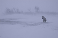 Canadian Eskimo Dog Hudson Bay Churchill Northern Canada   &amp;#xA;camouflage , mimetism ,winter , tundra , arctic , ice , mammal , snow , white , endangered @ Kike Calvo - V&amp;W<br />