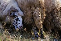 Domestic sheep (Ovis aries)  ruminating in the shade. Mehedinti Plateau Geopark, Geoparcul Platoul Mehedinți, Romania.