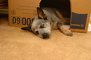 A 9-week-old Queensland Blue Heeler / Australian Cattle Dog puppy named Jazz at home.