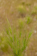 Medusahead (Taeniatherum caput-medusae) is a winter annual native to the Mediterranean region of Eurasia. It is one of the primary range weeds in the western United States. It is a serious threat to native grasslands with complex plant communities degraded to a low seral state. Medusahead is an aggressive competitor with other plants including other annuals in native prairies. A low-value forage species for livestock and wildlife, it has been estimated that the carrying capacity of rangeland for livestock and wildlife has been reduced by 75 percent after medusahead invasion.
