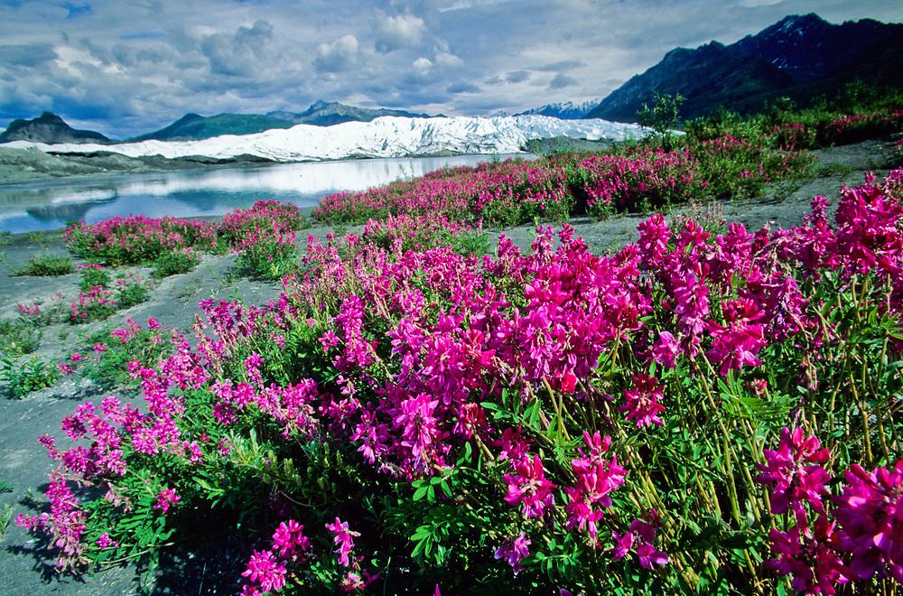 Alaska. Matanuska Glacier. Fireweed and glacier.