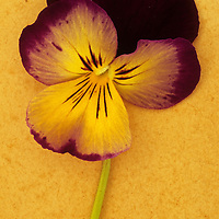 Close up of single purple mauve and yellow flower of Pansy or Viola tricolor lying on rusty metal sheet