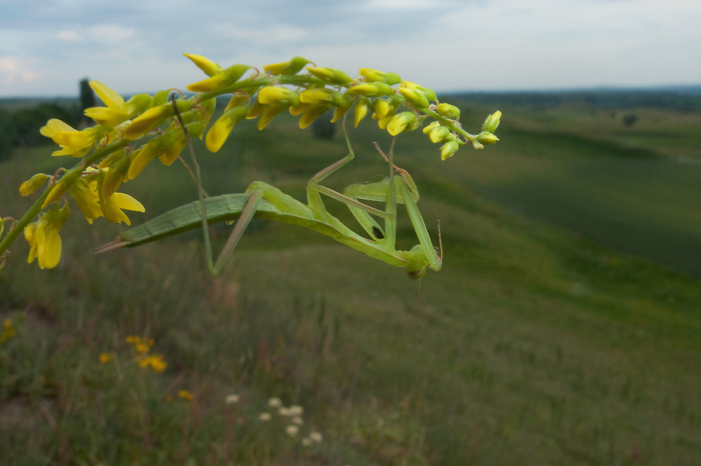European praying mantis (Mantis religiosa) in Moldova near adurea Domnesca National Park